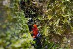 Thumbnail Strawberry poison frog (Oophaga pumilio, Dendrobates pumilio), Laguna del Lagarto Lodge, Alajuela, Costa Rica, Central America