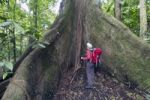Thumbnail Female hiker standing next to a great kapok tree (Ceiba pentandra), Laguna del Lagarto Lodge, Alajuela, Costa Rica, Central America