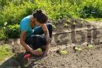 Thumbnail young woman in a vegetable patch, planting of Salad Lactuca sativa