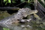 Thumbnail Spectacled caiman or white caiman (Caiman crocodilus), Tortuguero, Tortuguero National Park, Limon, Costa Rica, Central America