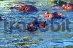 Thumbnail Hippopotamus