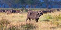 Thumbnail African Buffalos (Syncerus caffer) in morning light, Lake Nakuru National Park, Kenya, East Africa, PublicGround