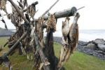 Thumbnail Cod on a drying rack, Iceland, Europe