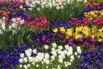 Thumbnail Viola, tulips and narcissus