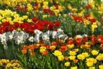 Thumbnail Tulips and narcissus