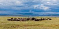 Thumbnail Large group of African buffalos (Syncerus caffer) lying at Lake Nakuru, Lake Nakuru National Park, Kenya, East Africa, Africa, PublicGround