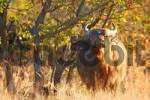 Thumbnail sniffing Kafffern buffalo, Krueger national park, South Africa, Africa