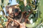 Thumbnail koala in Australia