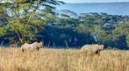Thumbnail Black rhinoceros (Diceros bicornis), Lake Nakuru National Park, Kenya, East Africa, Africa, PublicGround