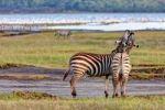 Thumbnail Two playful zebras (Equus quagga boehmi), Lake Nakuru National Park, Kenya, East Africa, Africa, PublicGround