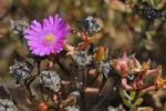 Thumbnail Ice plant (Delosperma sp.), Naries, Namaqualand, South Africa, Africa
