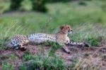 Thumbnail Cheetah (Acinonyx jubatus), Maasai Mara National Reserve, Kenya, East Africa, Africa, PublicGround