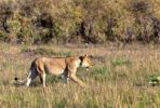 Thumbnail Old Lioness (Panthera leo) on the prowl, Masai Mara National Reserve, Kenya, East Africa, Africa, PublicGround
