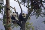 Thumbnail Two Pandas (Ailuropoda melanoleuca) climbing on tree, Sichuan province, China, Asien