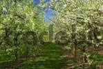 Thumbnail Blooming cherry trees, Altes Land Area near Hamburg, Lower Saxony, Germany