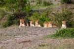 Thumbnail Group of young Lions (Panthera leo) resting, Masai Mara National Reserve, Kenya, East Africa, Africa, PublicGround