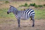 Thumbnail Zebra (Equus quagga) with Oxpecker (Buphagus), Masai Mara National Reserve, Kenya, East Africa, Africa, PublicGround