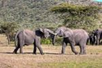 Thumbnail African Bush Elephant (Loxodonta africana), two young bulls fighting each other, Masai Mara National Reserve, Kenya, East Africa, Africa, PublicGround