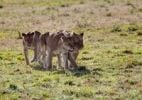 Thumbnail Group of young Lions (Panthera leo), Masai Mara National Reserve, Kenya, East Africa, Africa, PublicGround
