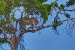 Thumbnail Leopard (Panthera pardus) in a fig tree at dusk, Masai Mara National Reserve, Kenya, East Africa, Africa, PublicGround