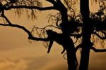 Thumbnail Leopard (Panthera pardus) resting on a fig tree at dusk, silhouette, Masai Mara National Reserve, Kenya, East Africa, Africa, PublicGround