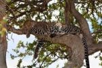Thumbnail Leopard (Panthera pardus) sleeping in a fig tree, Masai Mara National Reserve, Kenya, East Africa, Africa, PublicGround