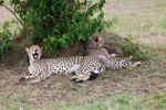 Thumbnail Cheetah (Acinonyx jubatus) with young, Masai Mara National Reserve, Kenya, East Africa, Africa, PublicGround