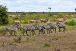 Thumbnail Herds of Eland Antelopes (Taurotragus oryx) and Zebras (Equus quagga), Masai Mara National Reserve, Kenya, East Africa, Africa, PublicGround