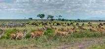 Thumbnail Herds of Eland Antelopes (Taurotragus oryx), Zebras (Equus quagga) and Blue Wildebeest (Connochaetes taurinus), Masai Mara National Reserve, Kenya, East Africa, Africa, PublicGround