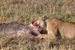 Thumbnail Lion (Panthera leo) eating a Blue Wildebeest (Connochaetes taurinus), Masai Mara National Reserve, Kenya, East Africa, Africa, PublicGround