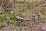 Thumbnail Cheetah (Acinonyx jubatus) cubs, Masai Mara National Reserve, Kenya, East Africa, Africa, PublicGround