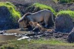 Thumbnail Lion (Panthera leo) with cubs at a waterhole, Masai Mara National Reserve, Kenya, East Africa, Africa, PublicGround