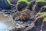 Thumbnail Lioness (Panthera leo) with cubs at a waterhole, Masai Mara National Reserve, Kenya, East Africa, Africa, PublicGround