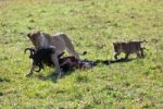 Thumbnail Lioness (Panthera leo) carrying a captured Blue Wildebeest (Connochaetes taurinus), with a lion cub following, Masai Mara National Reserve, Kenya, East Africa, Africa, PublicGround