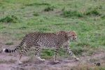Thumbnail Cheetah (Acinonyx jubatus), Masai Mara National Reserve, Kenya, East Africa, PublicGround