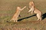 Thumbnail Lion and lioness fighting (Panthera leo) fighting, Masai Mara National Reserve, Kenya, East Africa, Africa, PublicGround