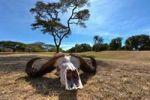 Thumbnail Skull of an African Buffalo (Syncerus caffer), Masai Mara National Reserve, Kenya, East Africa, Africa