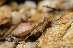 Thumbnail South African Ground Mantis (Ligariella), Goegap Nature Reserve, Namaqualand, South Africa, Africa