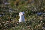 Thumbnail Ermine (Mustela erminea) in its winter coat, peering out of a burrow, Allgaeu, Bavaria, Germany, Europe