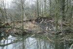 Thumbnail Beaver dam in a pond, Allgaeu, Bavaria, Germany, Europe