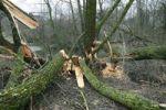 Thumbnail Goat Willow (Salix caprea) felled by beavers, Allgaeu, Bavaria, Germany, Europe