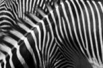 Thumbnail Grevy's zebra (Equus grevyi), close-up