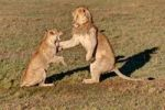 Thumbnail Lion and Lioness (Panthera leo) fighting, Masai Mara National Reserve, Kenya, East Africa, Africa, PublicGround