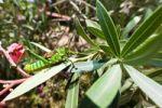 Thumbnail Short-horned Grasshopper (Caelifera), Samburu National Reserve, Kenya, East Africa, Africa, PublicGround