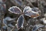 Thumbnail Privet (Ligustrum vulgare), leaves covered with hoar frost, Untergroeningen, Baden-Wuerttemberg, Germany, Europe