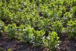Thumbnail Broad beans or Field beans (Vicia faba), cultivation in the field