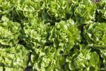 Thumbnail Lettuce in the field