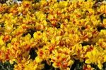 Thumbnail Bed of yellow and red Tulips (Tulipa)