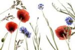Thumbnail Cornflowers (Centaurea cyanus) and poppyies (Papaver rhoeas)