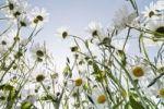 Thumbnail Daisies (Leucanthemum vulgare)